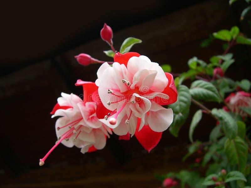 Fúcsia cor-de-rosa e branco imagens de stock
