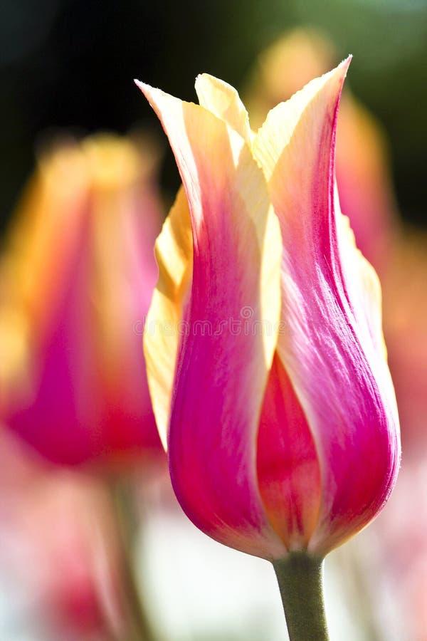 Fúcsia feliz da mola e tulipas amarelas imagem de stock royalty free