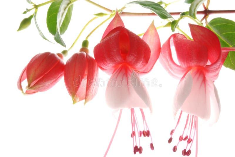 Fúcsia vermelho e branco fotografia de stock