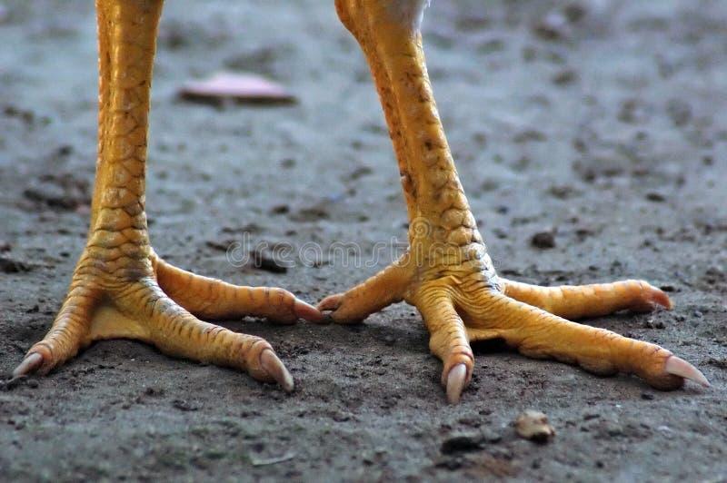Füße eines Huhns stockbild