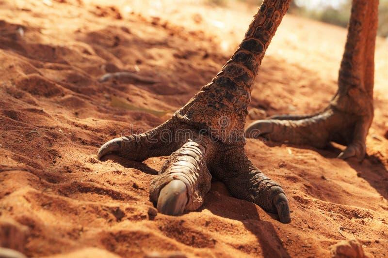 Füße und Greifer eines australischen Emus stockbild