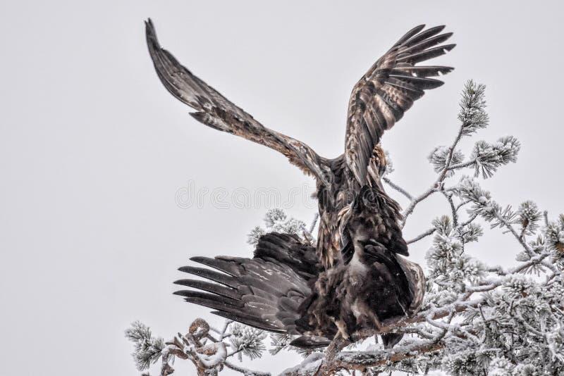 Fügende Golden Eagles stockbild