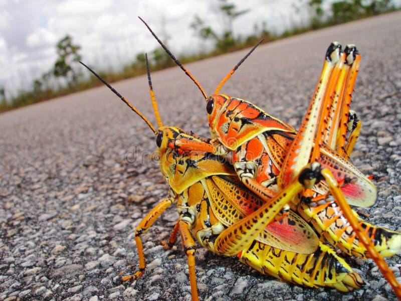 Fügende Heuschrecken stockfotografie