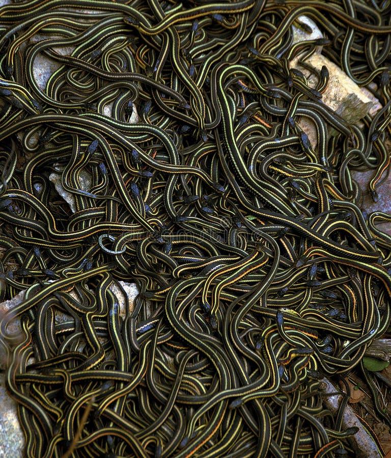 Fügende Kugel der Strumpfband-Schlangen lizenzfreie stockfotos