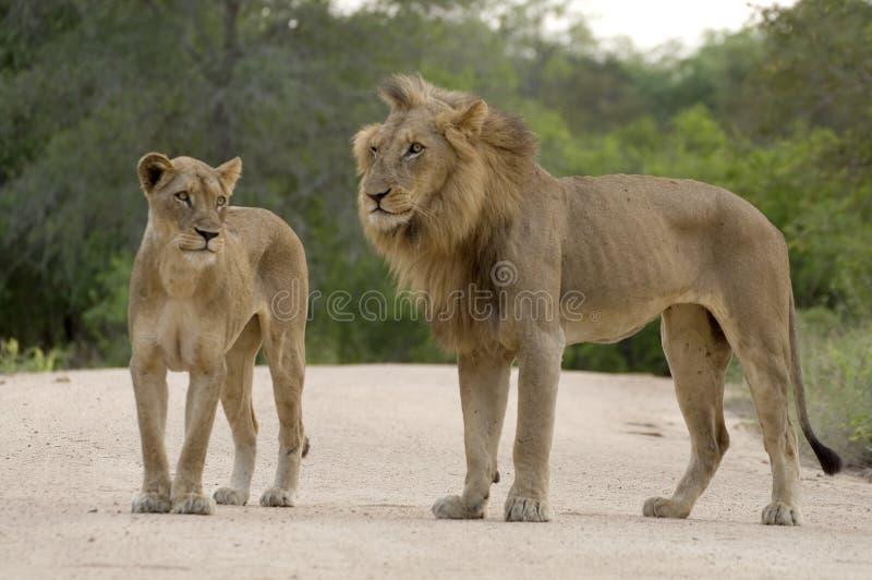 Fügende Löwen (Panthera Löwe) lizenzfreies stockfoto