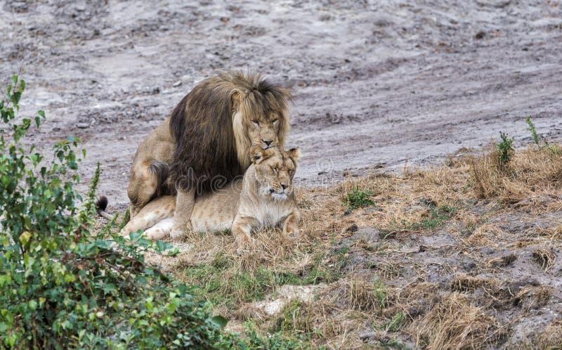 Fügende Löwen während der Safari stockbild