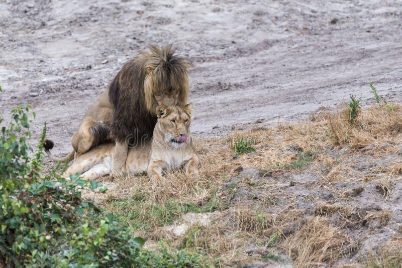 Fügende Löwen während der Safari lizenzfreie stockbilder