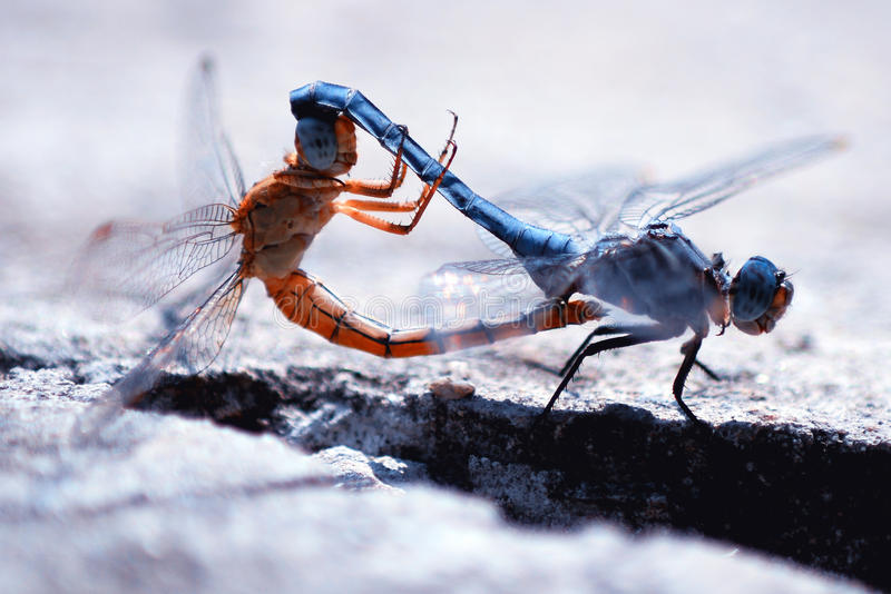 Fügende Libellen stockfoto