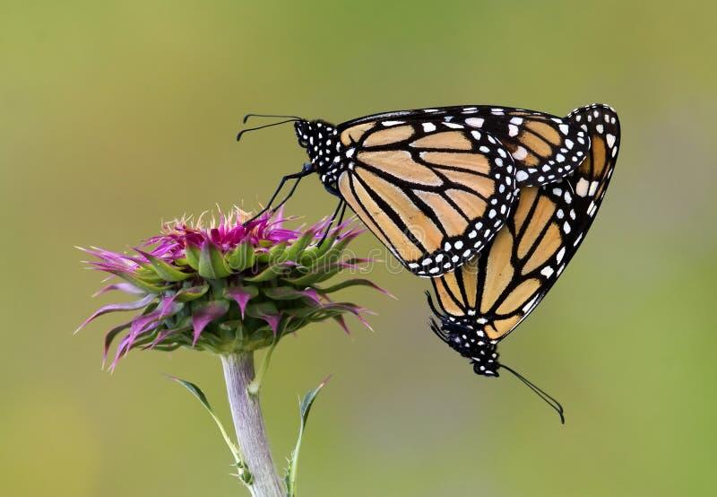 Fügende Monarchen lizenzfreie stockbilder