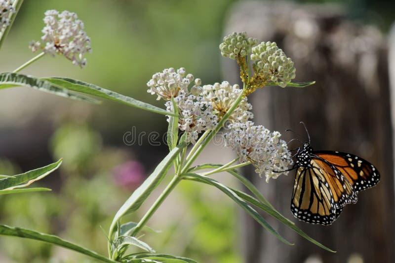 Fügende Monarchfalterblume lizenzfreie stockfotografie