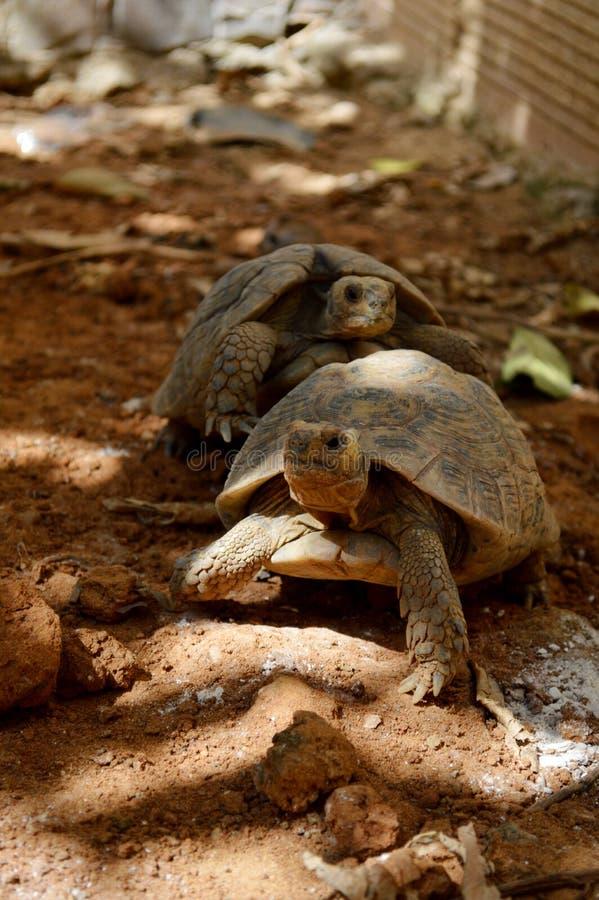 Fügende Schildkröten lizenzfreies stockbild