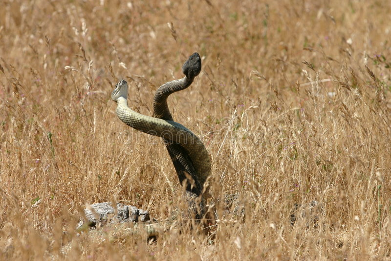 Fügende Schlangen stockfoto