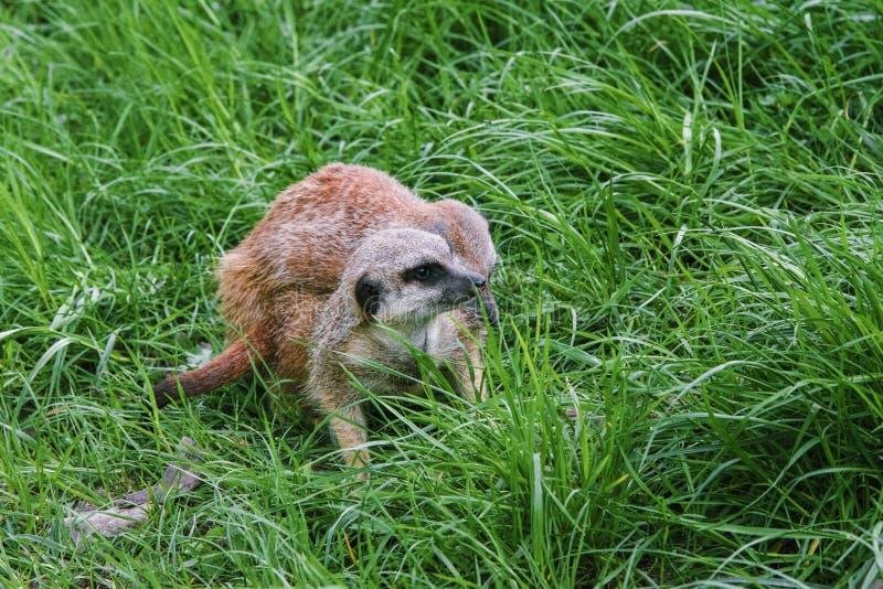 Fügende Spiele des Gopher im starken grünen Gras lizenzfreie stockfotos