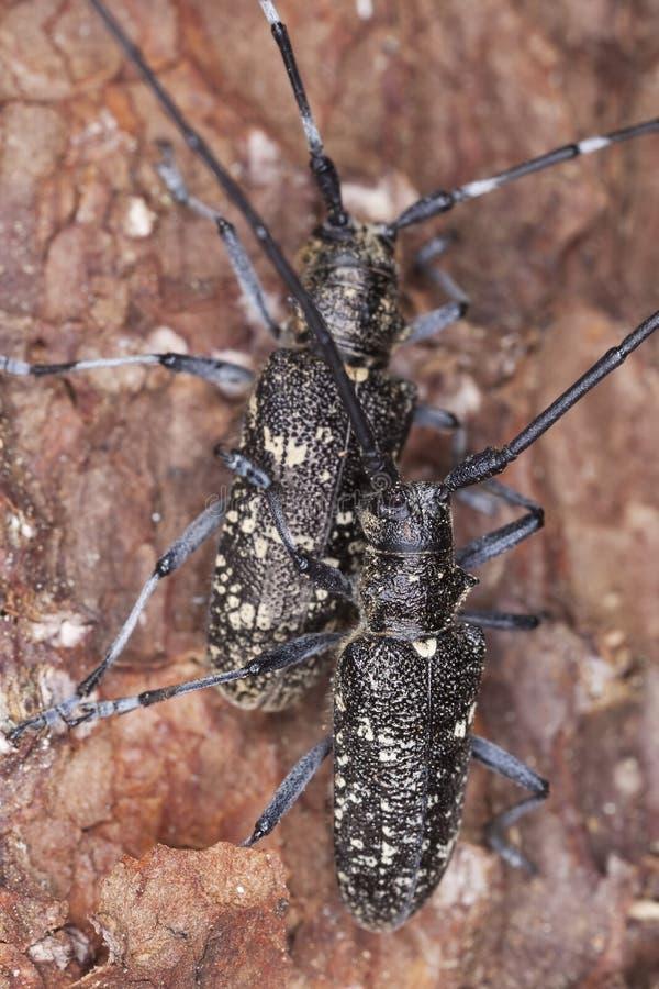 Fügender kleiner weißer-marmorated lang-gehörnter Käfer stockfotografie