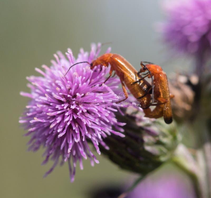 Fügender roter Soldat Beetles stockfotografie