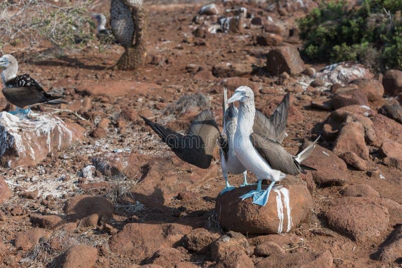 Fügender Tanz des blauen füßigen Dummkopfes, Nord-Seymour, Galapagos-Inseln, Ecuador lizenzfreie stockfotografie