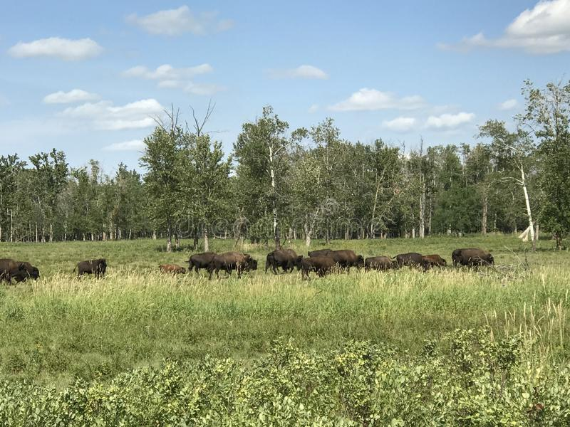 Führen der Herde des wilden Büffels im Elch-Insel-Nationalpark, Alberta, Kanada stockbild