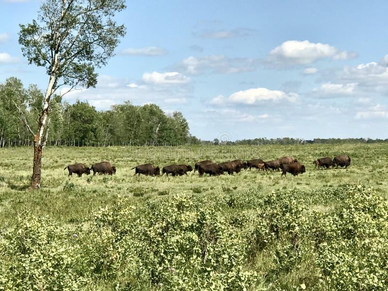 Führen der Herde des wilden Büffels im Elch-Insel-Nationalpark, Alberta, Kanada lizenzfreies stockbild
