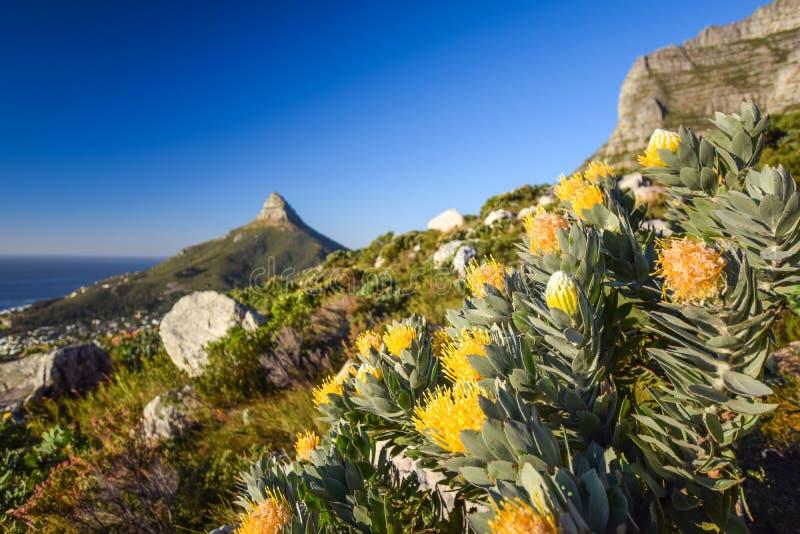 Führen Sie Ansicht von gelben Nadelkissen Leucospermum-Blumen an Kasteelspoort-Wanderweg im Tafelberg-Nationalpark, Cape Town ein lizenzfreie stockfotos