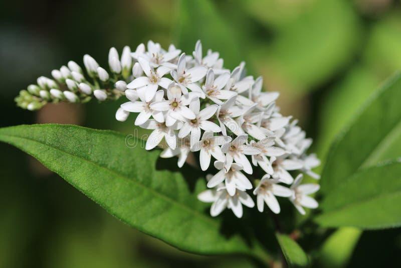 Fülle weiße Blumen in der Bildung stockfoto