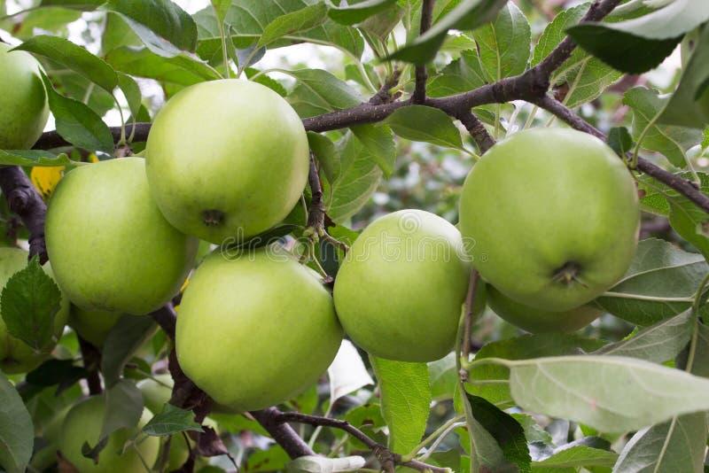 Fünf Äpfel lizenzfreie stockfotografie