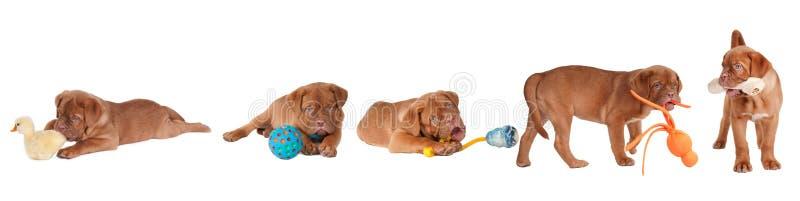 Fünf Dogue De Bordeaux Puppies, der mit Spielwaren spielt lizenzfreies stockfoto