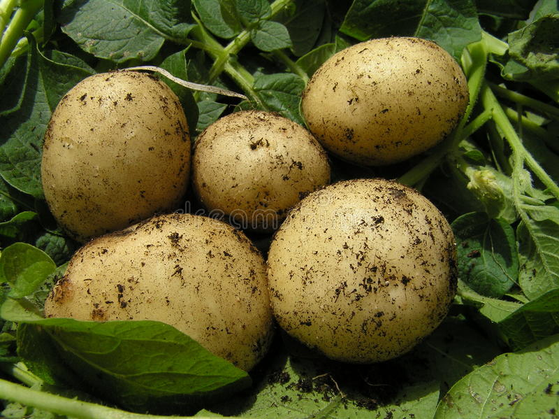 Fünf frische Frühkartoffeln lizenzfreies stockbild