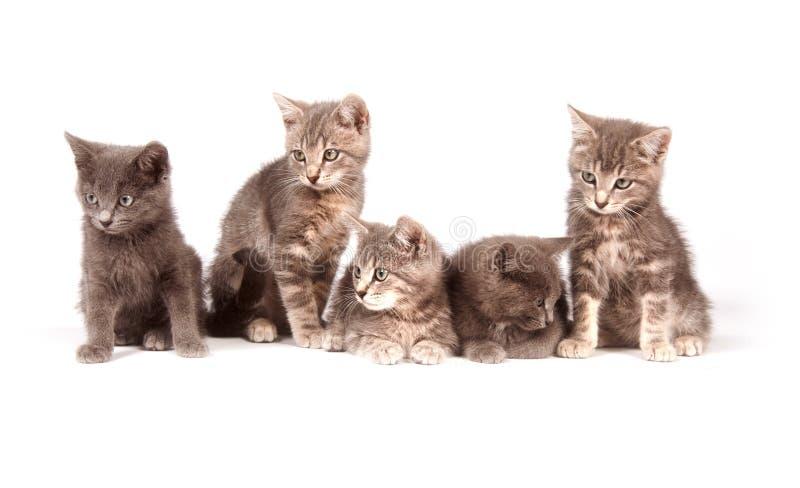 Fünf graue Kätzchen auf weißem Hintergrund stockfotos