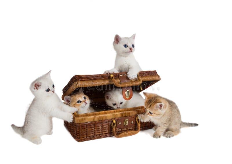 Fünf Kätzchen Zucht Britisch Kurzhaar-Chinchilla spielen w lizenzfreies stockbild