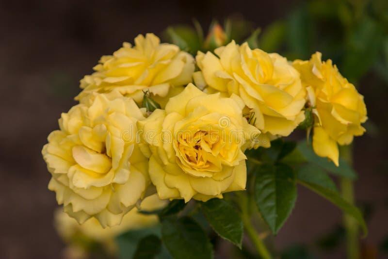 Fünf Knospen von gelben Rosen der Blumen auf einem Busch Selektiver Fokus stockfotos