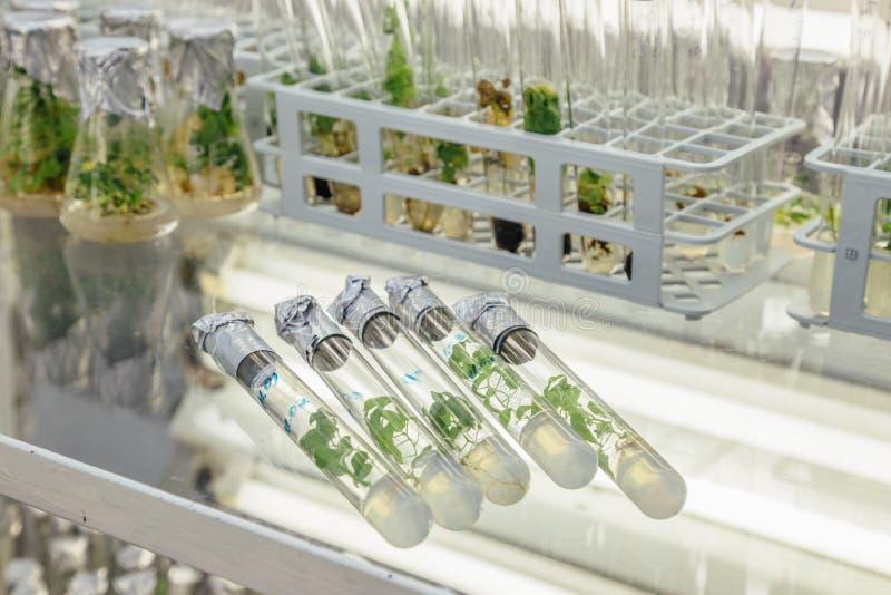 Fünf Reagenzgläser mit microplants im Nährmedium auf dem Glastisch Micropropagations-Technologie in-vitro stockfotografie