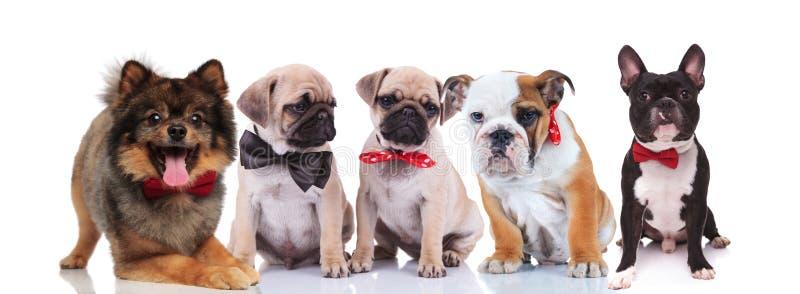 Fünf reizende Hunde, die elegante bowties tragen stockfoto