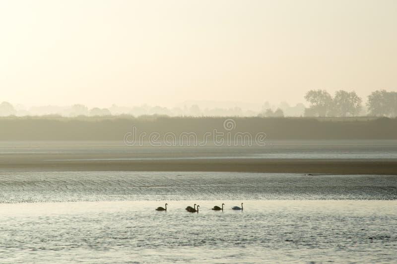 Fünf Schwäne, die hinunter einen Fluss auf einem nebelhaften Herbstmorgen schwimmen lizenzfreies stockfoto