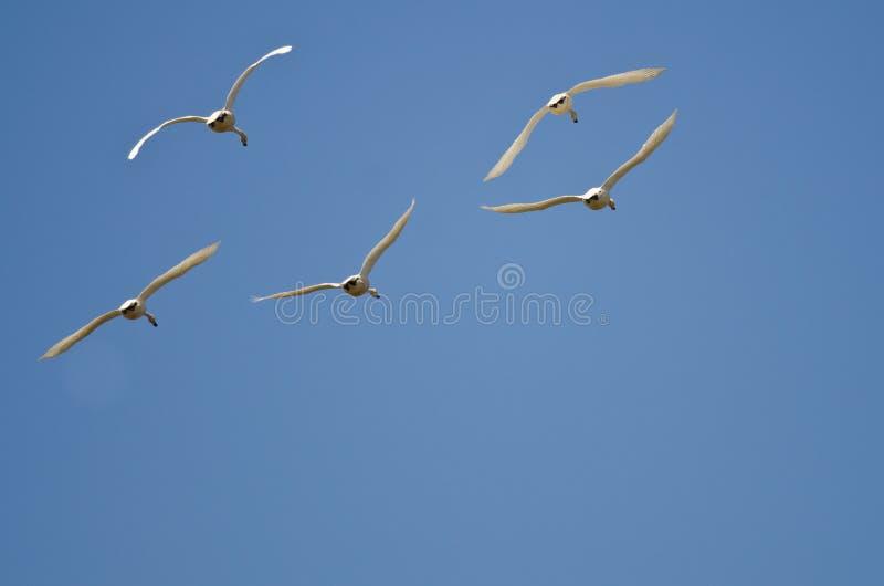 Fünf Tundra-Schwäne, die in einen blauen Himmel fliegen stockbild