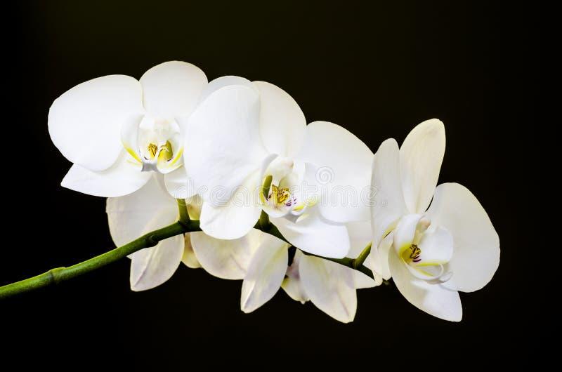 Fünf weiße Orchideen lizenzfreies stockfoto