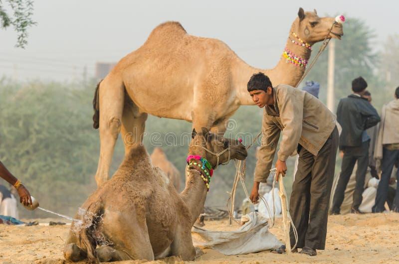 Fütterung der Kamele an der Pushkar-Kamel-Messe, Rajasthan, Indien lizenzfreies stockfoto