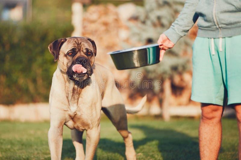 Fütterung des enormen Hundes stockbilder
