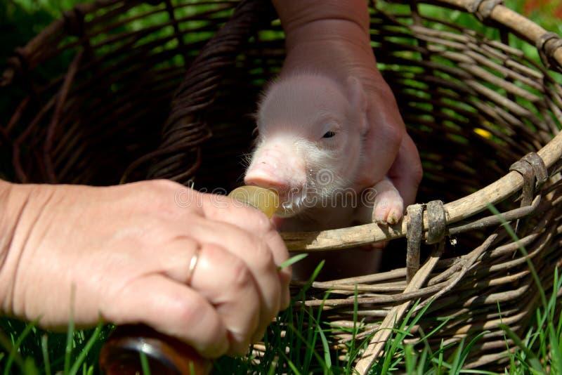 Fütterung eines neugeborenen Ferkels in einem Korb von einer Flasche mit einem pacifi stockbild