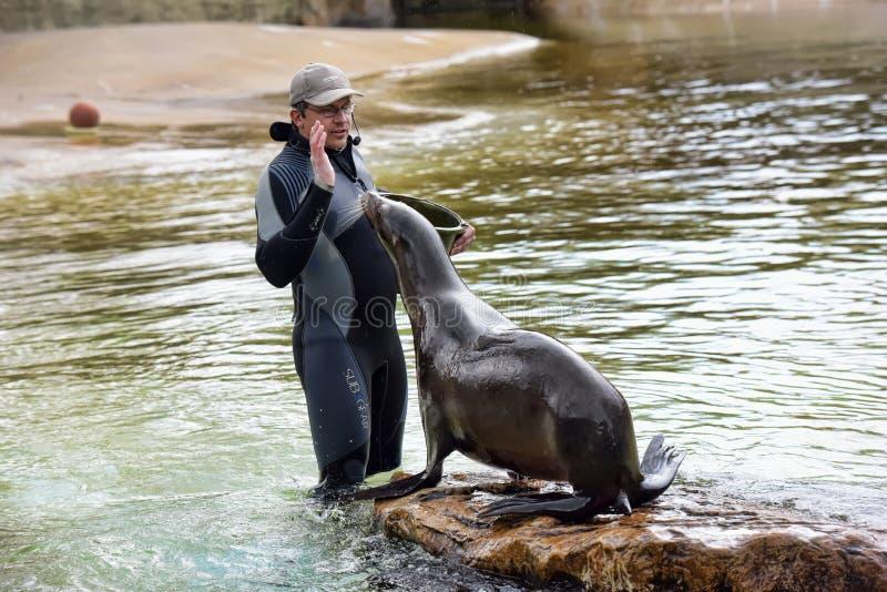 Fütterung und eine Show mit Seelöwen stockfoto