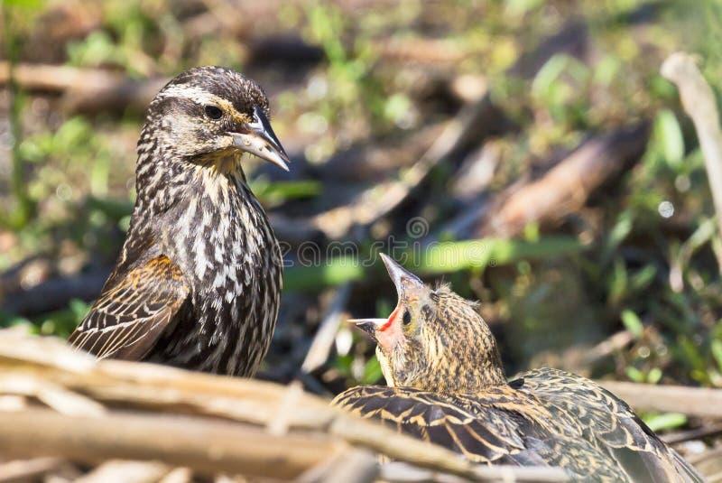 Fütterungs-Zeit für Rotschulterstärling des gewordenen Vogels (Agelaius phoeniceus) stockfoto
