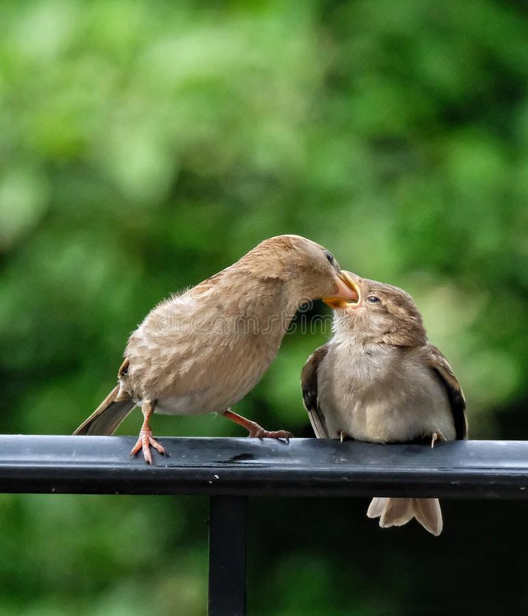 Fütterungsbaby des Mutterfinks lizenzfreie stockbilder