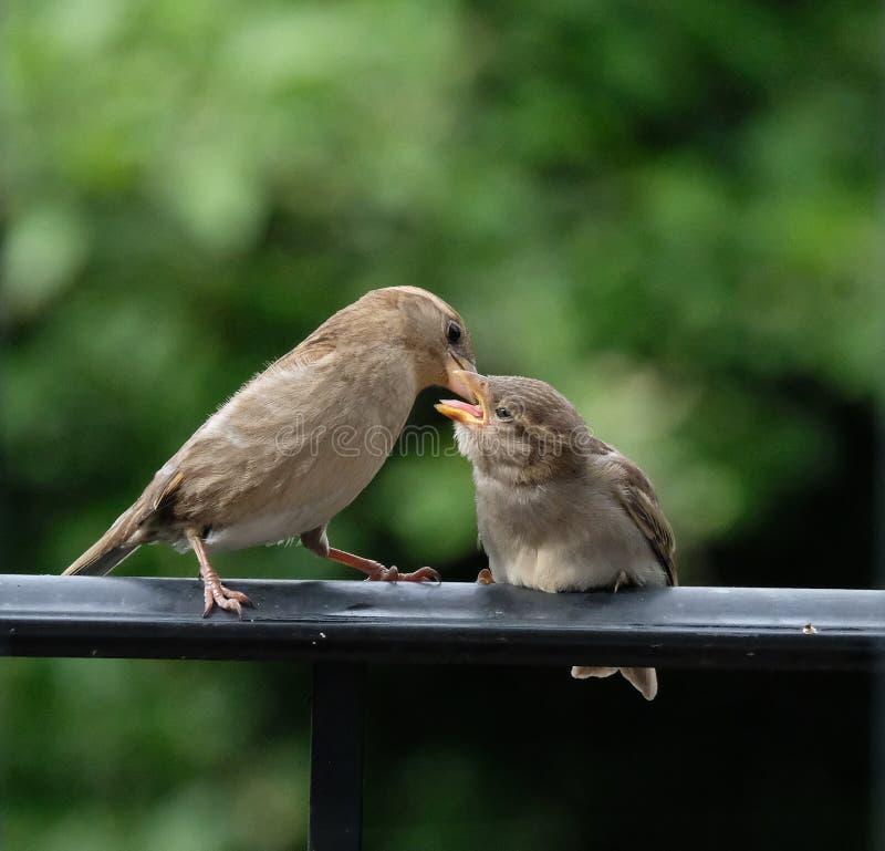 Fütterungsbaby des Mutterfinks, das auf schwarzer Schiene sitzt stockfotos