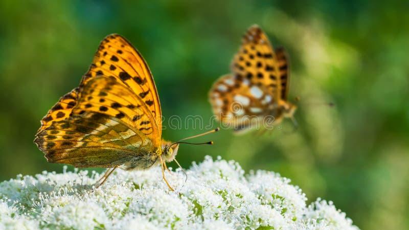 Fütterungsdetail des Schmetterlinges Flügelunterseite Silber-gewaschener Fritillary Argynnis paphia lizenzfreie stockbilder