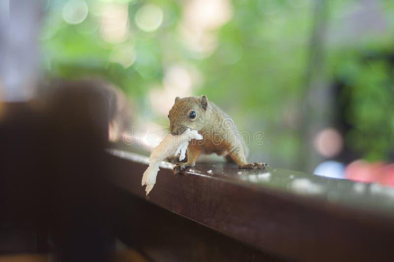 Fütterungseichhörnchen mit Brot lizenzfreies stockbild