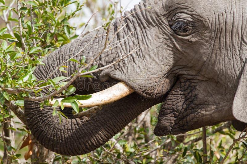 Fütterungselefant lizenzfreie stockfotografie