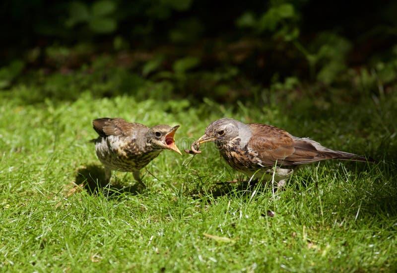 Fütterungsgewordener vogel der Wacholderdrossel lizenzfreies stockfoto