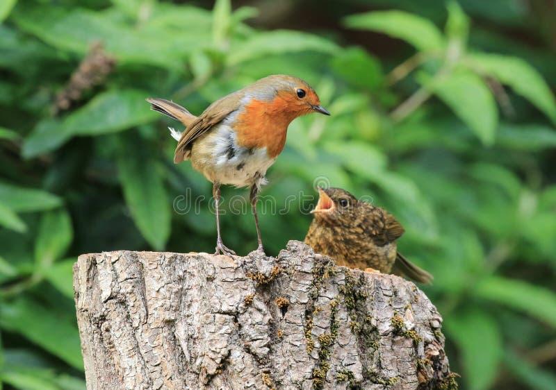 Fütterungsküken Robins stockbilder
