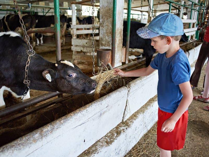 Fütterungskalb des kleinen Jungen mit Heu im Bauernhof lizenzfreies stockbild