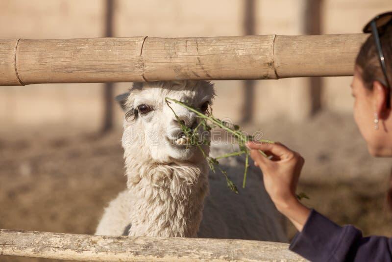 Fütterungslama der jungen Frau im Safari-Park stockbilder