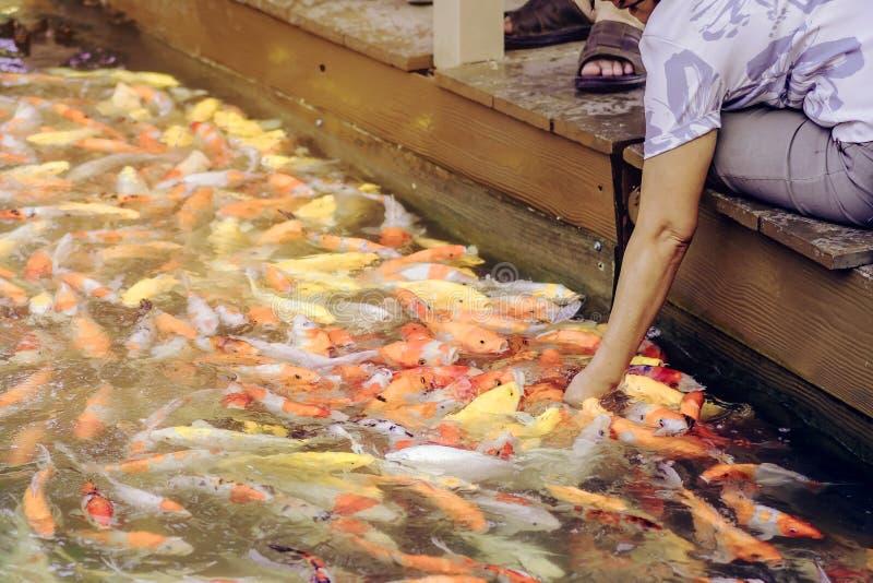 Fütterungsnahrung der Frau, zum sich von Karpfenfischen eigenhändig vorzustellen stockfotos